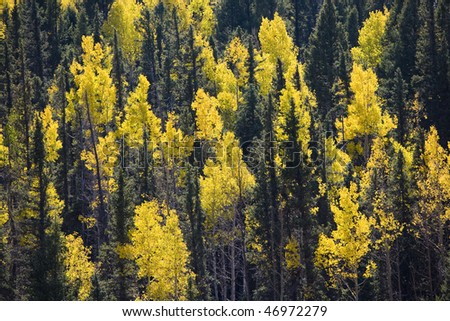 Golden Aspen in the fall, amongst Pine on a mountainside, Colorado - stock photo