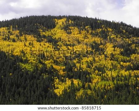 golden aspen in the fall in colorado - stock photo