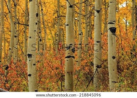 Golden aspen leaves in the Utah mountains, USA. - stock photo