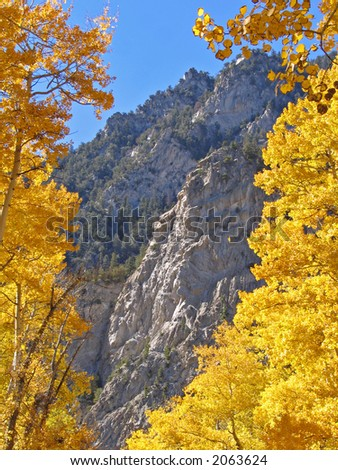 Golden aspen trees in the Colorado Rockies - stock photo