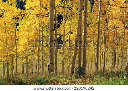 Golden aspens, Colorado, USA. - stock photo