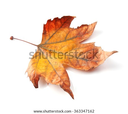 Golden autumn leaf isolated on white background
