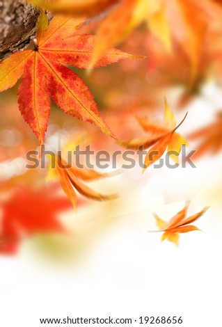 Golden autumn leaves falling from trees. - stock photo