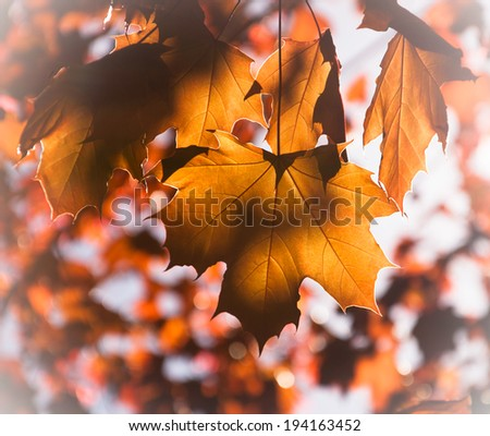 Golden autumn maple leaves. Light and shadow. Selective focus. - stock photo