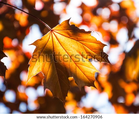 Golden autumn maple leaves. Light and shadow. Selective focus and shallow depth of the field. - stock photo