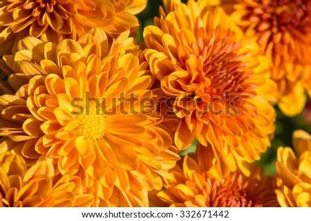 Golden Autumn Mum or Chrysanthemum flowers blooming in garden  - stock photo
