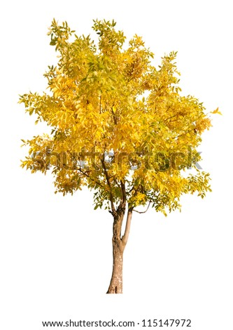 golden autumn tree isolated on white background