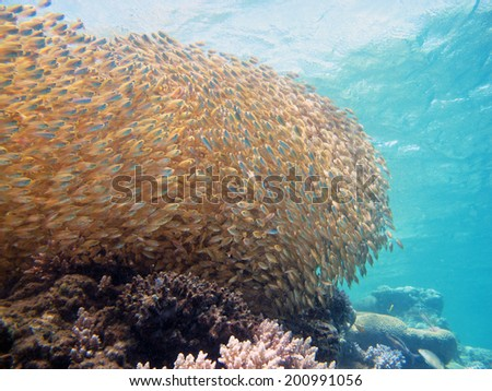Golden bait ball - stock photo