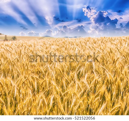 Golden barley fields, beautiful blue sky and sun rays, summer sunny day.