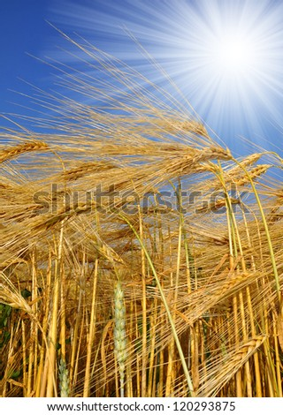 golden barley in the blue sky background