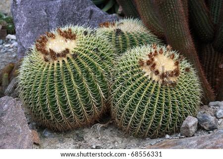 Golden barrel cactus (Echinocactus grusonii) - stock photo