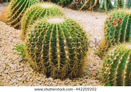 Golden Barrel Cactus in botany cactus garden. cactus in desert.cactus.Nature green background or wallpaper: domestic cactus closeup. soft focus. filter effect. - stock photo