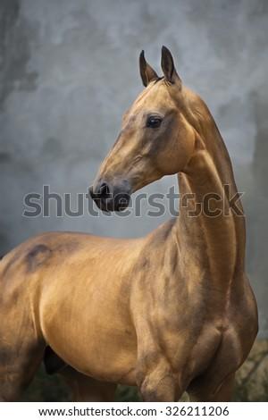 Golden bay akhal-teke horse stallion on the grey wall background - stock photo