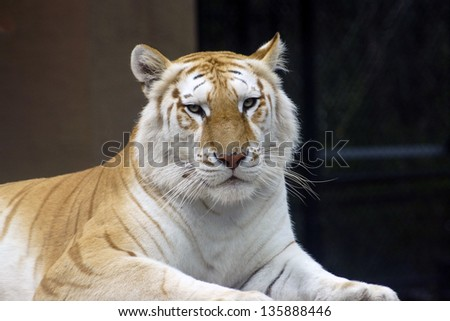 Golden Bengal Tiger  (disambiguation) - Jungle Island, Miami, FL  USA - stock photo