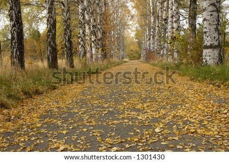 Golden birch alley