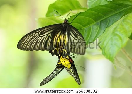 Golden Birdwing butterfly  - stock photo