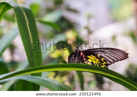 Golden Birdwing or Small Birdwing Butterfly (Troides aeacus)