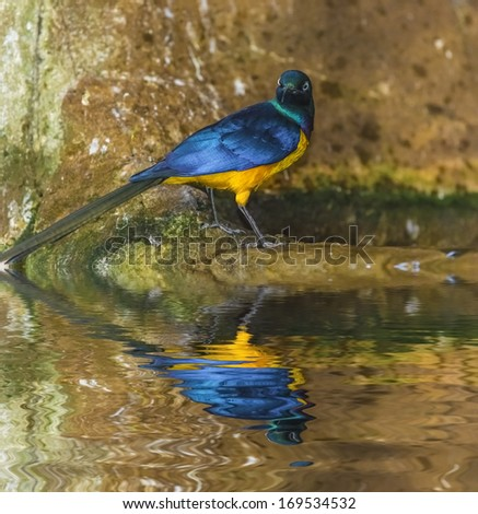 Golden-breasted Starling Lamprotornis regius, also known as Royal Starling - stock photo