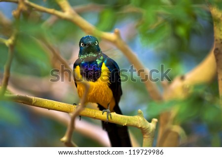 Golden-breasted Starling perched on the tree branch