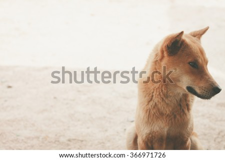 golden brown dog is sitting with the sand background - stock photo