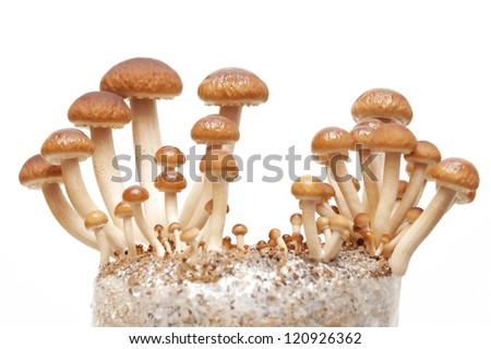 Golden Brown swordbelt Mushrooms - stock photo