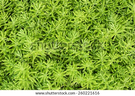 Golden Carpet Stone crop or Golden moss sedum. Green moss after water. Some of its leaf is cover with drop. - stock photo