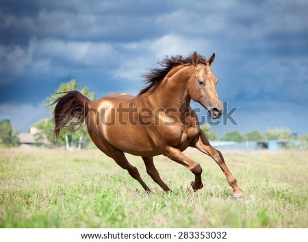 golden chestnut don horse runs free in the field - stock photo