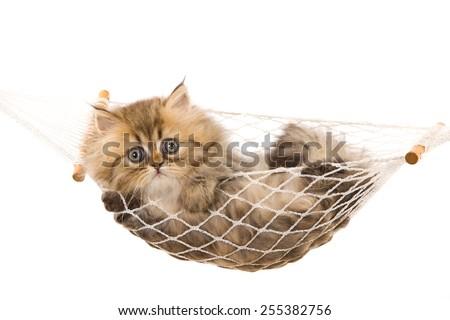 Golden Chinchilla Persian kitten lying inside miniature hammock on white background  - stock photo