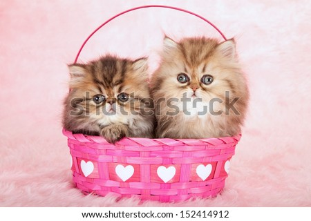 Golden Chinchilla Persian kittens sitting in pink Valentine heart basket on pink background - stock photo
