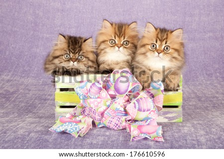 Golden Chinchilla Persian kittens sittings inside slatted wooden box with easter theme ribbon bow against light purple lilac background - stock photo