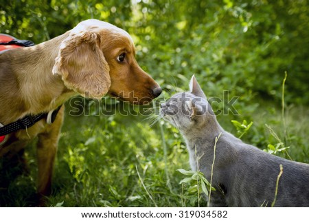 Golden cocker and the smoked color cat nose to nose. - stock photo