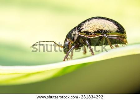 Golden Color Beetle resting on leaf - stock photo