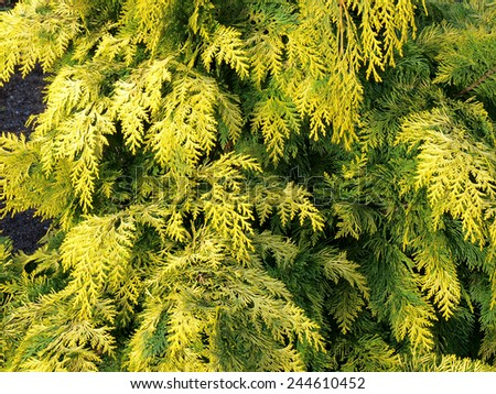 Golden color cypress branches close up for background       - stock photo