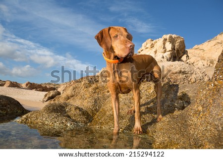 golden color pure breed dog standing on seaside cliff - stock photo