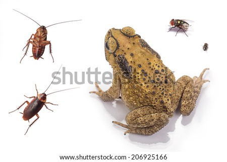 Golden color skin and orange neck toad, fly and cockroach on White background and isolated. Toads are associated with drier skin and more terrestrial habitats than animals commonly called frogs - stock photo