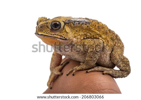 Golden color skin and orange neck toad hold on hand on White background. Toads are associated with drier skin and more terrestrial habitats than animals commonly called frogs - stock photo