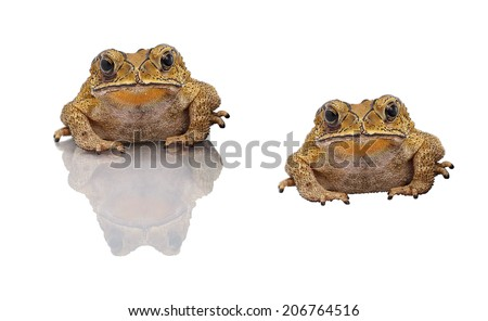 Golden color skin and orange neck toad on White background and isolated .Toads are associated with drier skin and more terrestrial habitats than animals commonly called frogs - stock photo