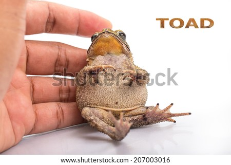 Golden color skin and orange neck toad site in hand on White background. Toads are associated with drier skin and more terrestrial habitats than animals commonly called frogs - stock photo