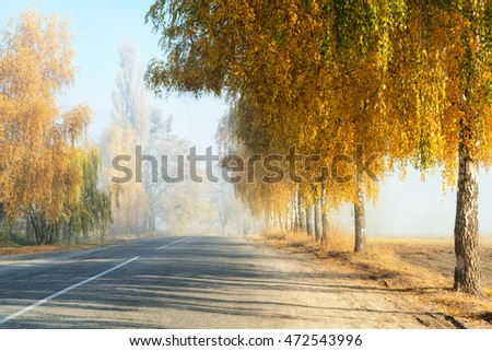 Golden colored birch trees along a countryside road, fall morning scene