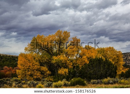 Golden cottonwood tree/ The Golden Cottonwood