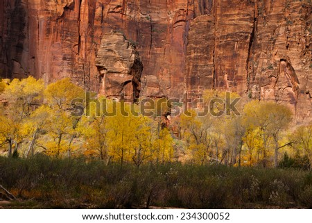 Golden cottonwoods in Zion National Park in autumn. - stock photo