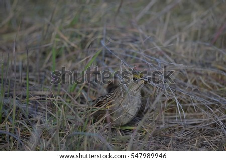 Golden-crowned Sparrow eating an insect