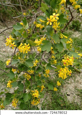 Golden currant small goldenyellow flowers on stock photo edit now golden currant small golden yellow flowers on a bush flowers with yellow petals mightylinksfo