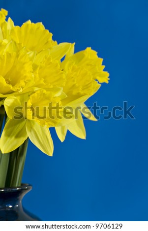 Golden daffodils in a blue vase against a blue background - stock photo