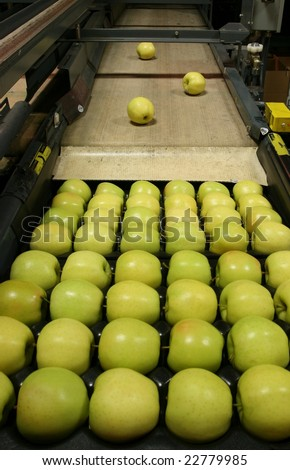 Golden Delicious Apples being packed in a warehouse - stock photo