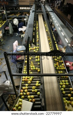 Golden Delicious Apples on sorting table in a warehouse - stock photo
