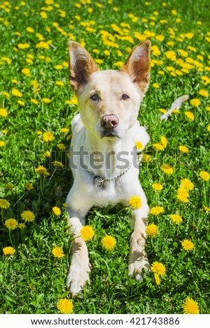golden dog laying in a field of dandelion