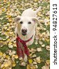 Golden dog on yellow leaves wearing red scarf - stock photo