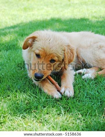 golden dog puppy chewing wood - stock photo