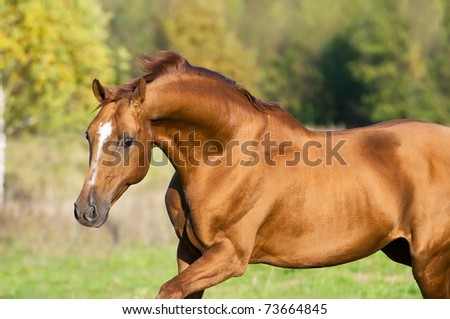 golden Don horse stallion runs gallop in summer - stock photo